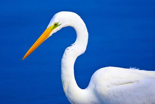 Великолепная <b>птица</b> <b>с</b> белоснежным оперением - большая бела... гифка анимация