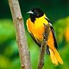 Желто-<b>черная</b> <b>птица</b> гифка анимация