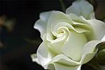 Роза для <b>Валерии</b> гифка анимация