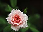 Розовая роза на <b>зеленом</b> <b>фоне</b> гифка анимация