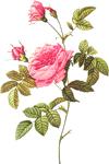 Розы Нежная розовая розочка смайлик gif анимация