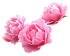Розовые <b>пионы</b> гифка анимация