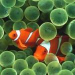 Две <b>рыбы</b>-клоуны в <b>аквариуме</b> гифка анимация