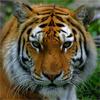 Морда большого рыжего <b>тигра</b> <b>с</b> полосками гифка анимация