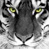 Морда большого <b>тигра</b> <b>с</b> внимательными глазами гифка анимация