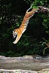 <b>Тигр</b> прыгает <b>с</b> дерева в поток воды гифка анимация