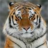 Морда большого рыжего <b>тигра</b> <b>с</b> белым гифка анимация