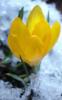 Расцвел желтый <b>крокус</b> гифка анимация