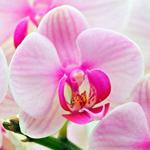 Розовая <b>орхидея</b> гифка анимация