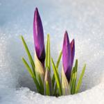 <b>Крокусы</b> прорастают из снега гифка анимация