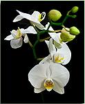 Белые <b>орхидеи</b> гифка анимация