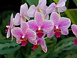 <b>Орхидеи</b> розовые на ветке гифка анимация