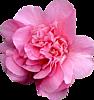 Большой розовый цветок <b>пиона</b> гифка анимация