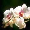 Цветок <b>орхидеи</b> на темно-зеленом фоне гифка анимация