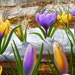 Желтые и фиолетовые <b>крокусы</b> на нерастаявшем снегу гифка анимация