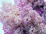 Цветет роскошная <b>сирень</b> гифка анимация