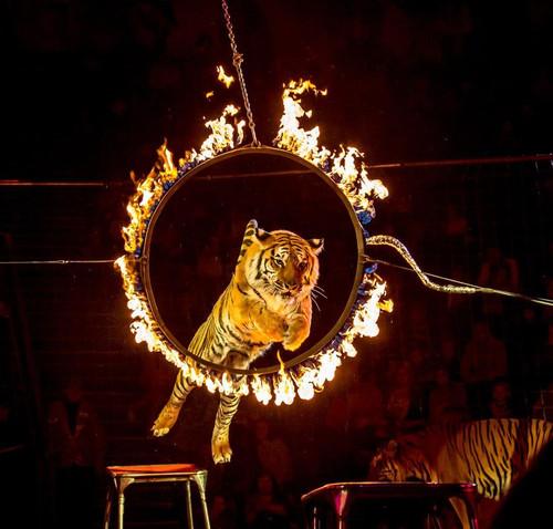 Открытки. Всемирный день цирка. <b>Тигр</b> <b>с</b> тумбы прыгает чере... гифка анимация