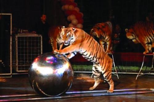Открытки. Всемирный день цирка. <b>Тигр</b> <b>с</b> шаром гифка анимация