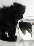 Пушистый черный котенок смотрит на <b>рыбку</b> в <b>аквариуме</b> гифка анимация