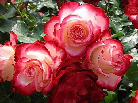 Открытки. <b>День</b> <b>красоты</b>. <b>Красота</b> розы гифка анимация